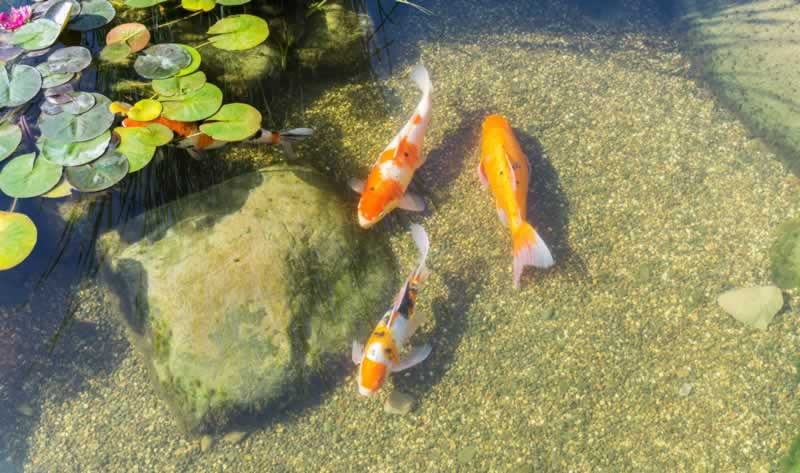 DIY Tips for Cleaning Your Garden Pond - fish
