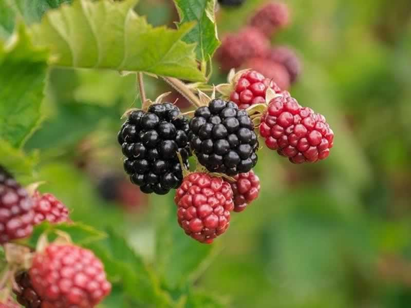 Fruits and Vegetables to Grow in Your Garden - raspberries