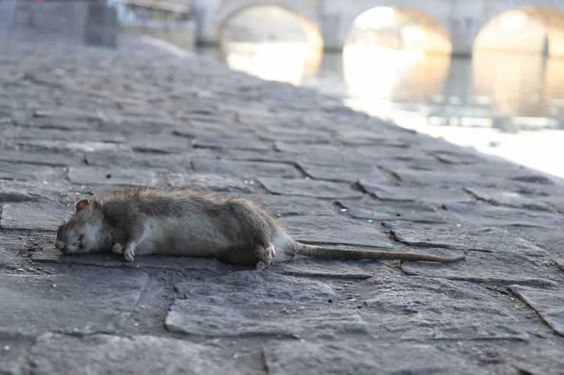 How to Get Rid of Mice and Rats - rat