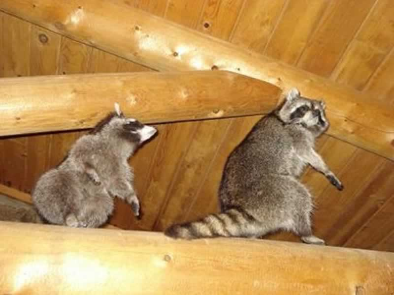 How to Remove Raccoons from your Attic Using One-Way-Doors - racoons