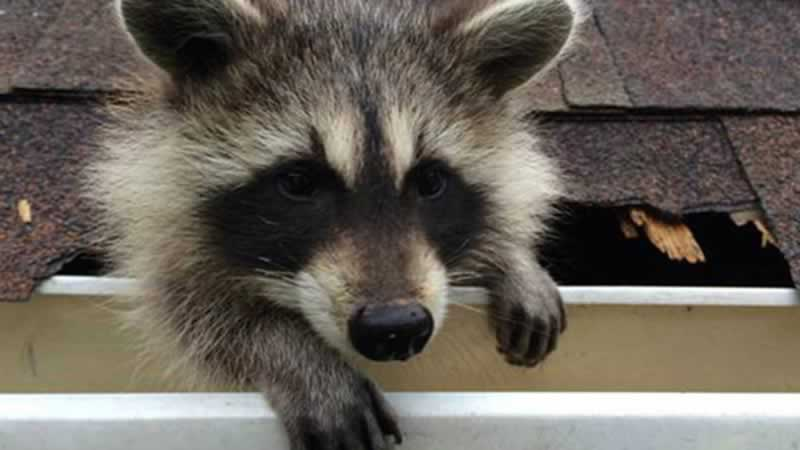 How to Remove Raccoons from your Attic Using One-Way-Doors