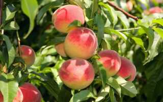 Beginners Guide to Pruning Peach Trees - peaches
