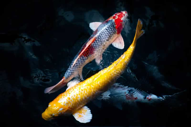 Owning Koi Is A Wonderful Hobby