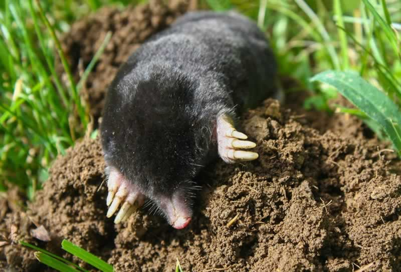 How To Protect Your Garden From Mole Damage - mole