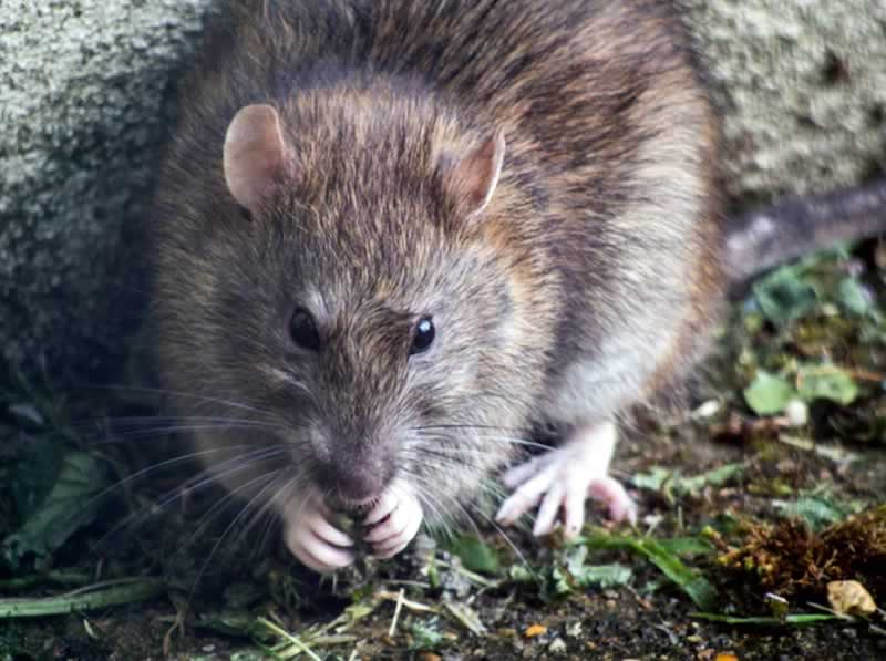 Common House Pests And How To Deal With Them - rat
