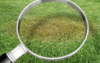 Common Lawn Diseases