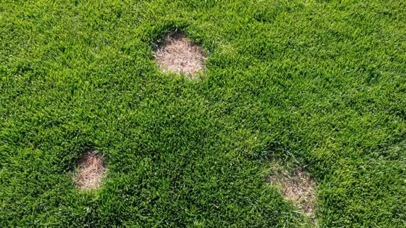 Common Lawn Diseases - fungus