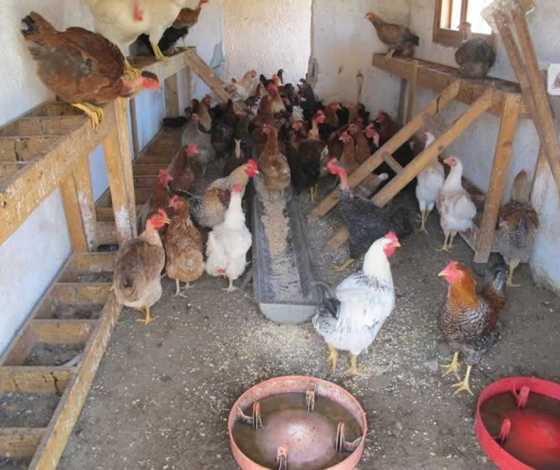 How To Get Rid Of Rats From Your Chicken Coop - chicken coop